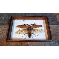 """Cadre coffret """"Insecte"""" Guyane années 60"""