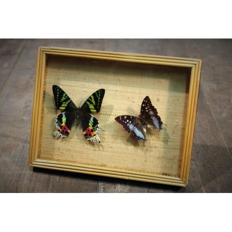 Cadre coffret 2 papillons années 60