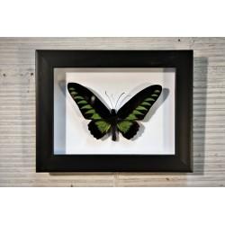 Cadre coffret papillon Trogonoptera