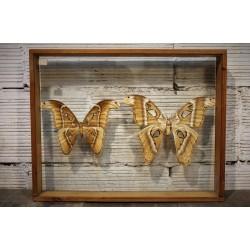Coffret papillons Attacus Caesar années 60