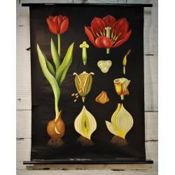 Affiche scolaire Tulipe années 60