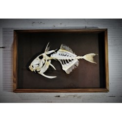 Cadre coffret squelette poisson corail