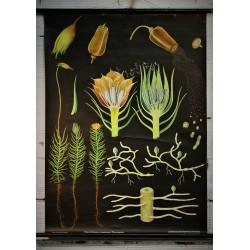 Affiche scolaire plante années 60