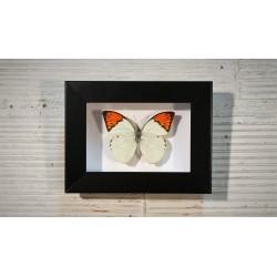 Cadre coffret papillon Hebomoia