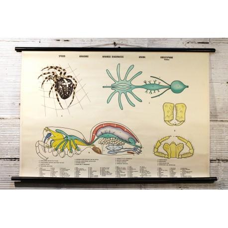 """Affiche pédagogique """"Araignée"""" années 70"""