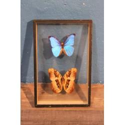 Coffret papillons Morpho années 60